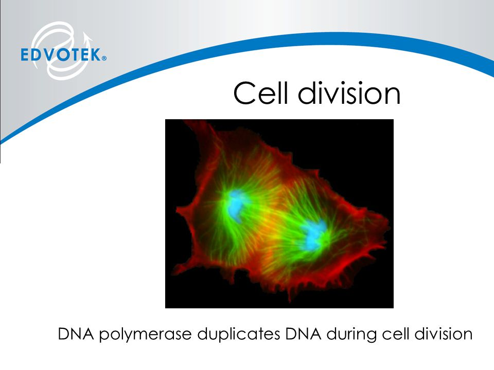 Cell division DNA polymerase duplicates DNA during cell division