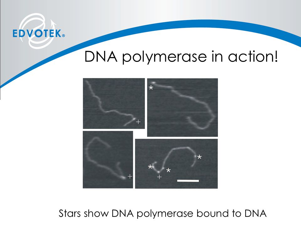 DNA polymerase in action!