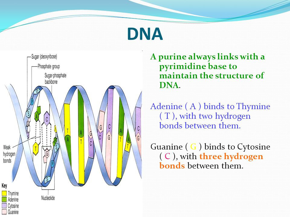 DNA A purine always links with a pyrimidine base to maintain the structure of DNA.