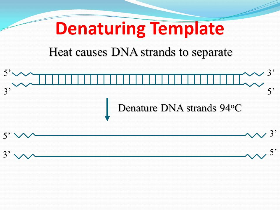 Denaturing Template Heat causes DNA strands to separate