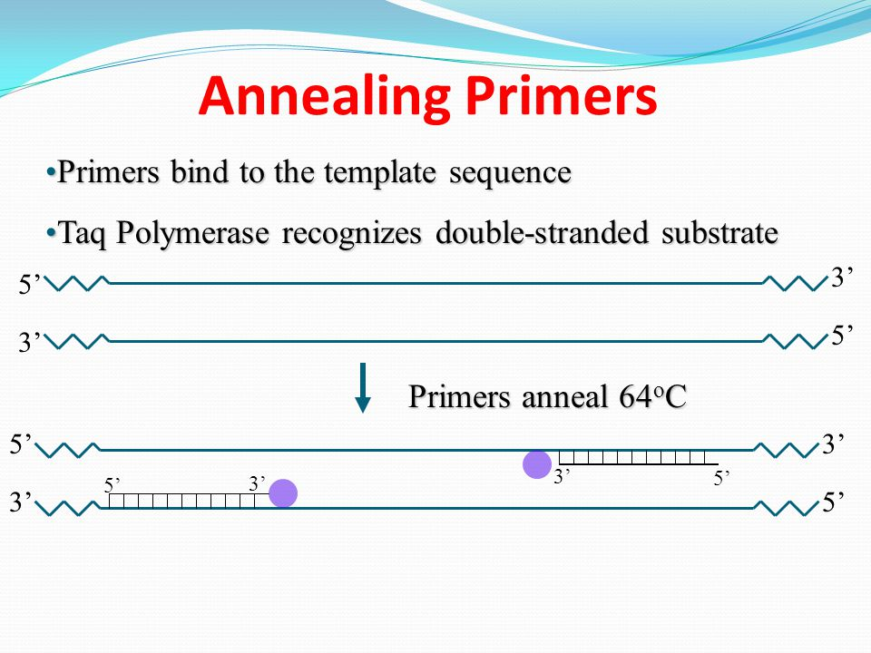 Annealing Primers Primers bind to the template sequence