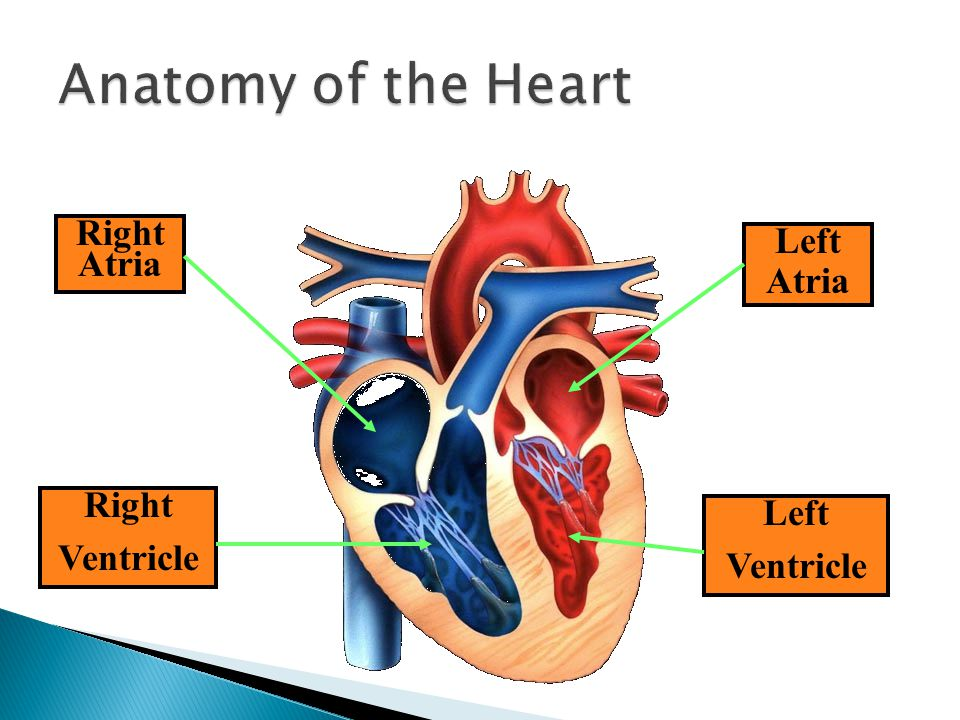 Anatomy of the Heart Right Atria Left Atria Right Left Ventricle
