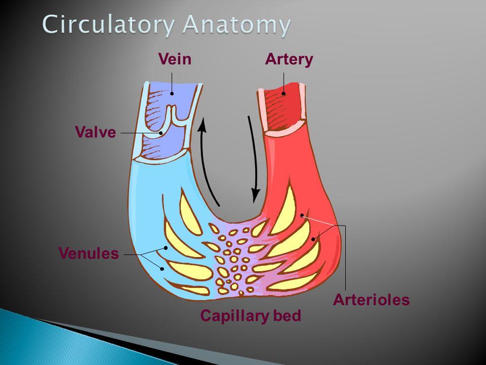 Circulatory Anatomy Valve Vein Artery Arterioles Capillary bed Venules