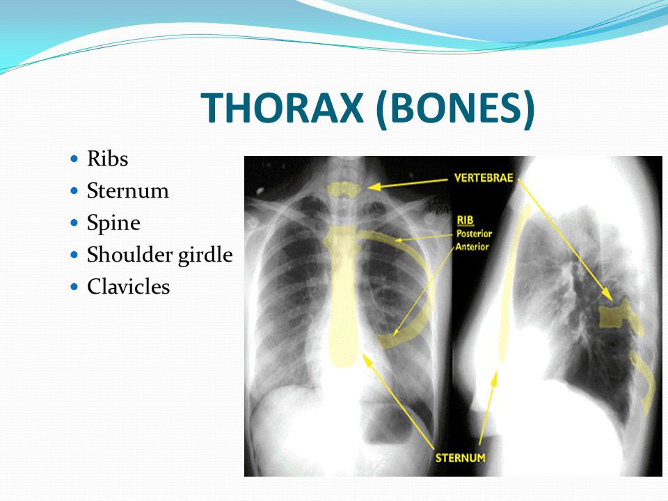 THORAX (BONES) Ribs Sternum Spine Shoulder girdle Clavicles