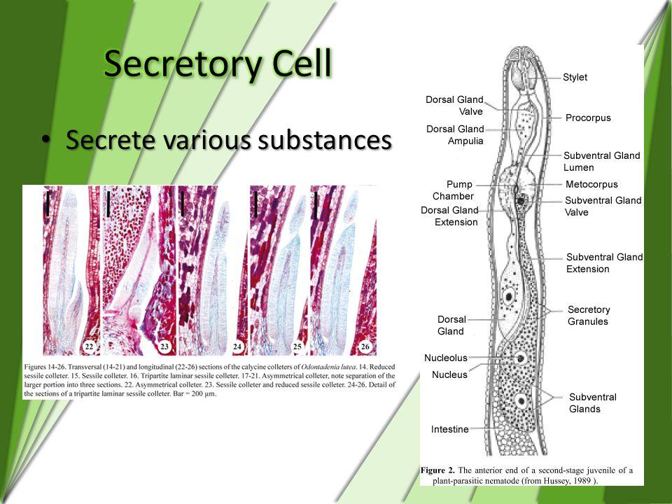 Secretory Cell Secrete various substances