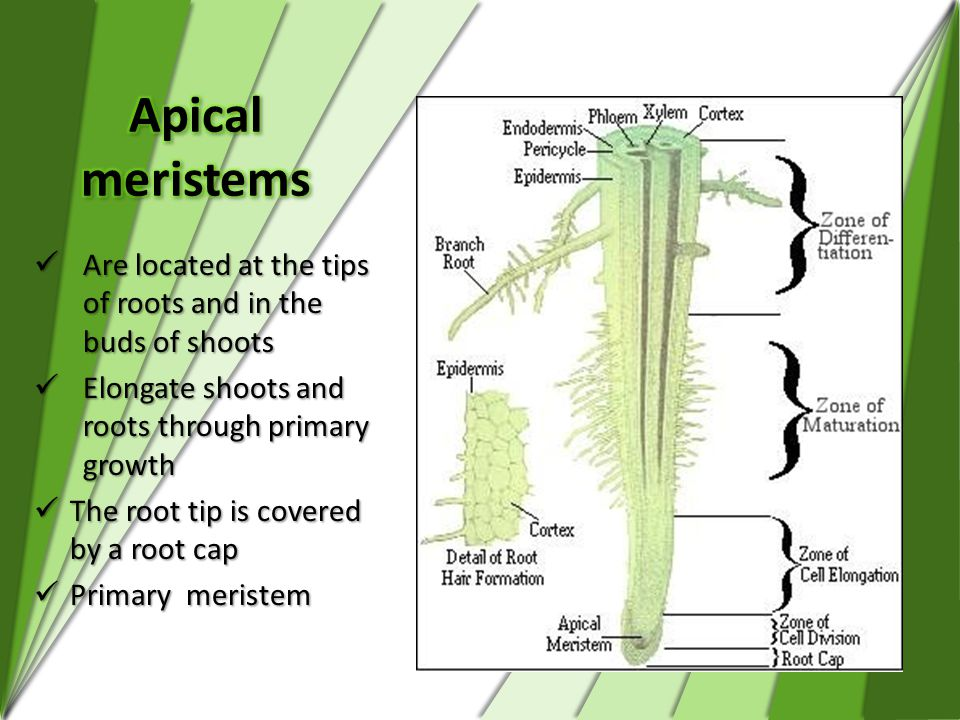 Apical meristems Are located at the tips of roots and in the buds of shoots. Elongate shoots and roots through primary growth.