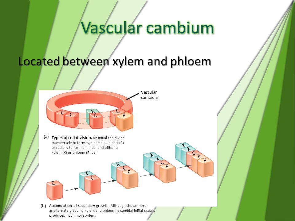 Vascular cambium Located between xylem and phloem X C P Vascular