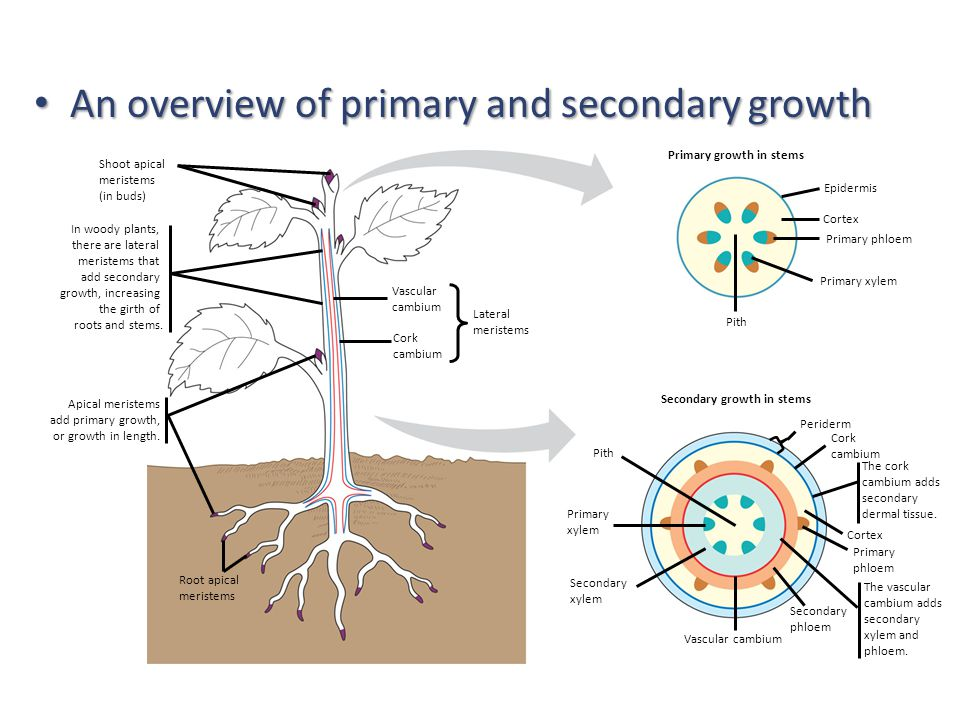 Primary growth in stems Secondary growth in stems