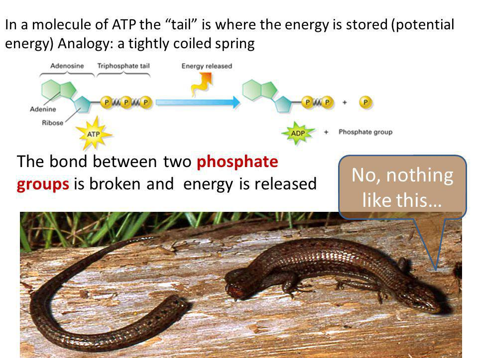 In a molecule of ATP the tail is where the energy is stored (potential energy) Analogy: a tightly coiled spring