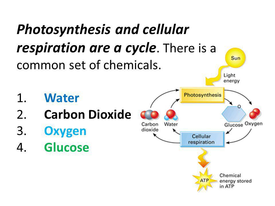 Photosynthesis Photosynthesis occurs in chloroplasts ...