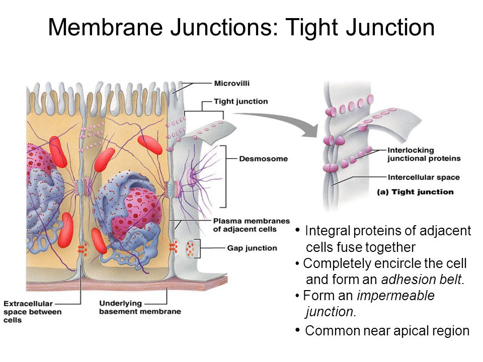 Membrane Junctions: Tight Junction