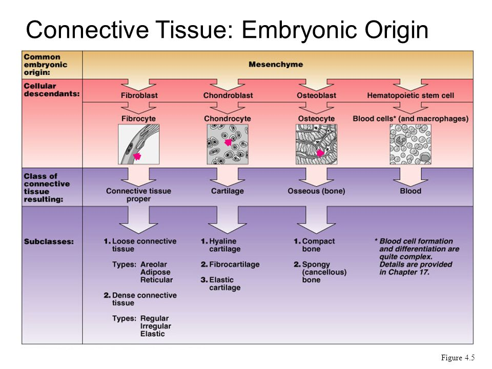 Connective Tissue: Embryonic Origin