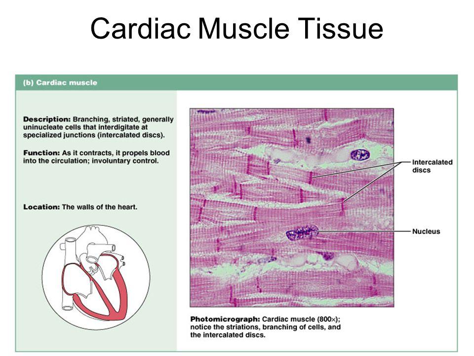 Cardiac Muscle Tissue Figure 4.14b