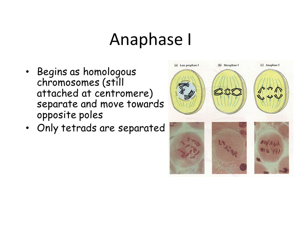Anaphase I Begins as homologous chromosomes (still attached at centromere) separate and move towards opposite poles.
