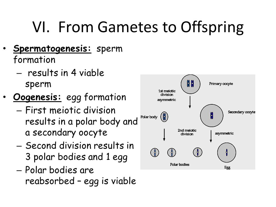 VI. From Gametes to Offspring