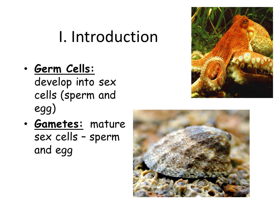 I. Introduction Germ Cells: develop into sex cells (sperm and egg)