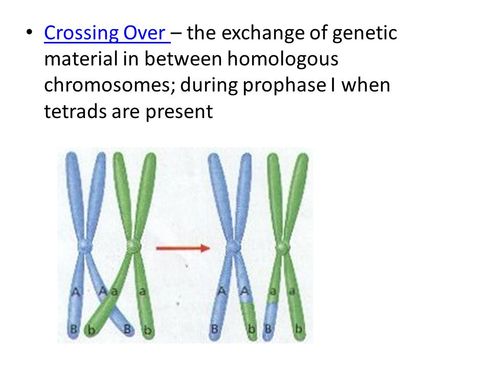 Crossing Over – the exchange of genetic material in between homologous chromosomes; during prophase I when tetrads are present