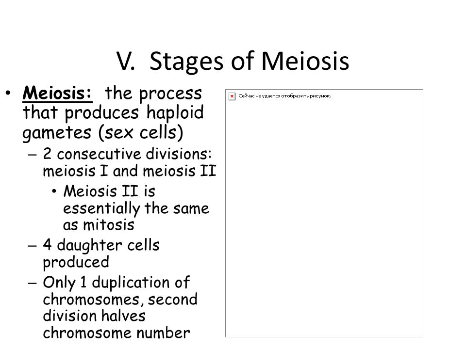 V. Stages of Meiosis Meiosis: the process that produces haploid gametes (sex cells) 2 consecutive divisions: meiosis I and meiosis II.