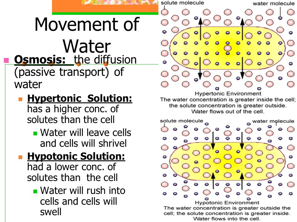 Movement of Water Osmosis: the diffusion (passive transport) of water