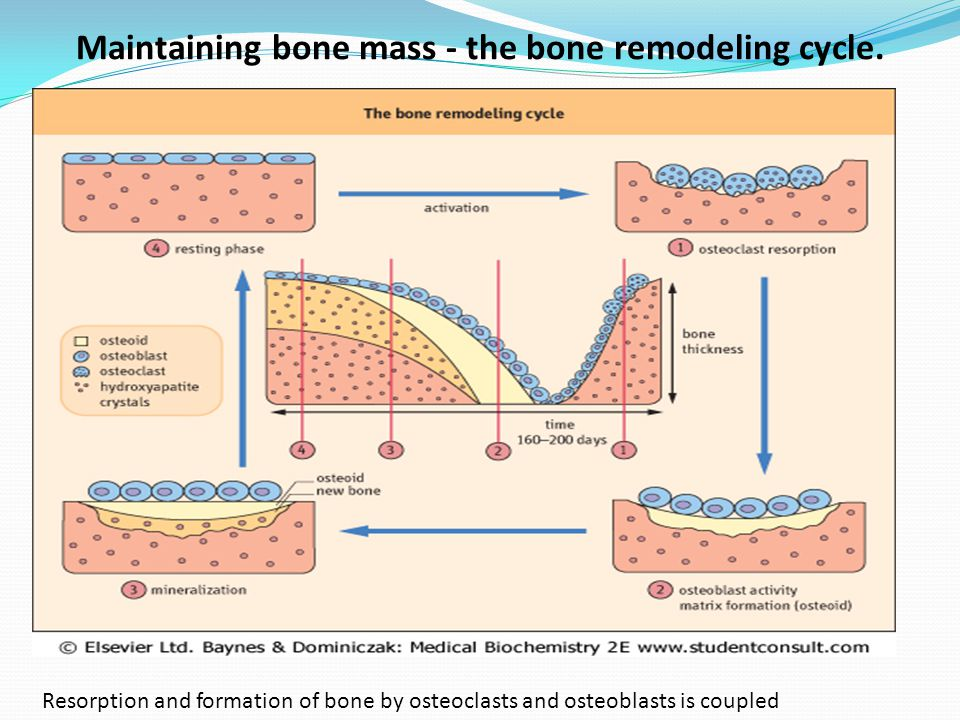 Maintaining bone mass - the bone remodeling cycle.