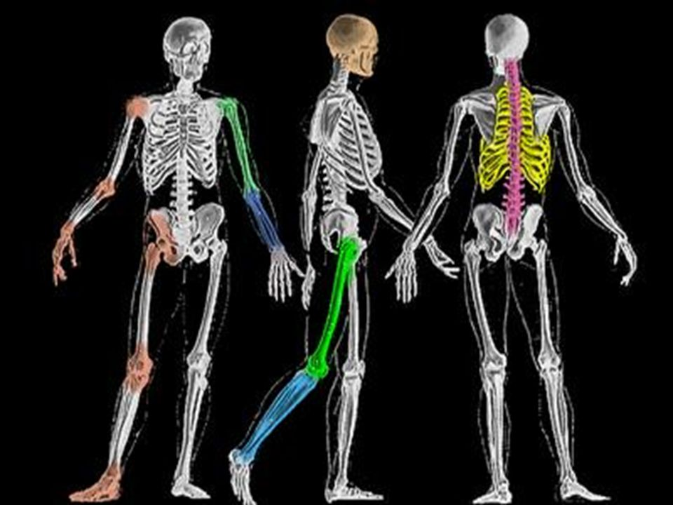 skeleton is not only important for locomotion, but protects the soft parts of the body like the brain, produces blood cells in the bone marrow of certain bones and is needed, with the muscles, to give the body shape and support.