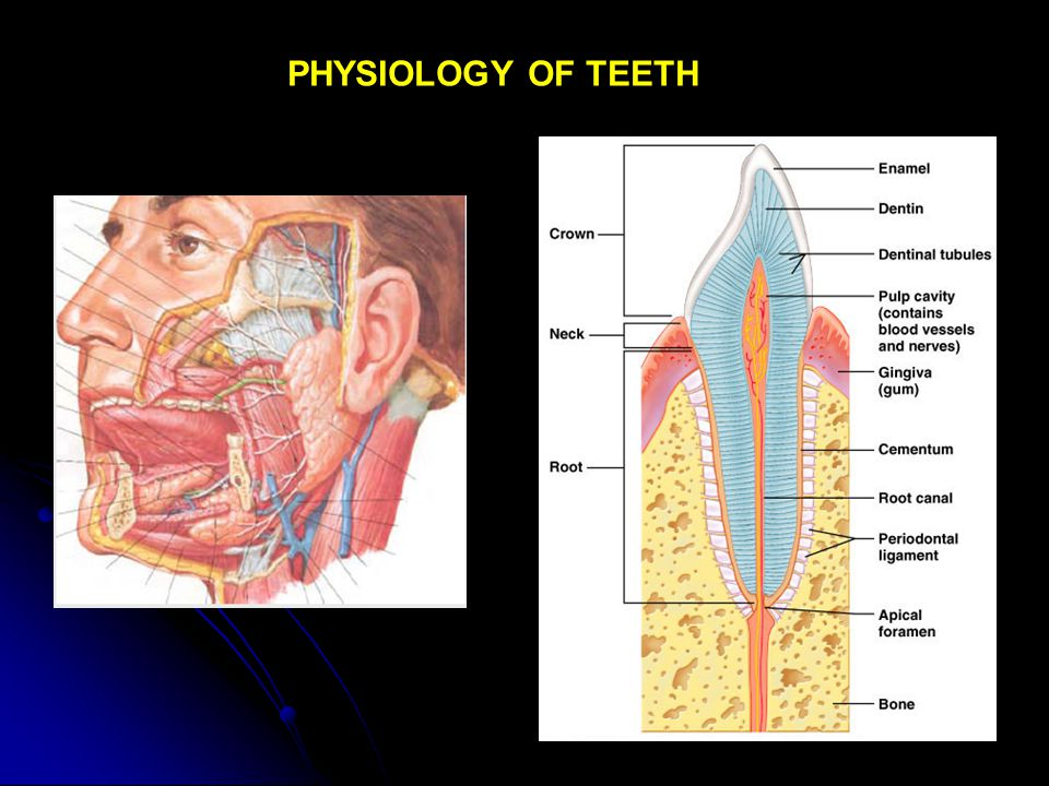 PHYSIOLOGY OF TEETH
