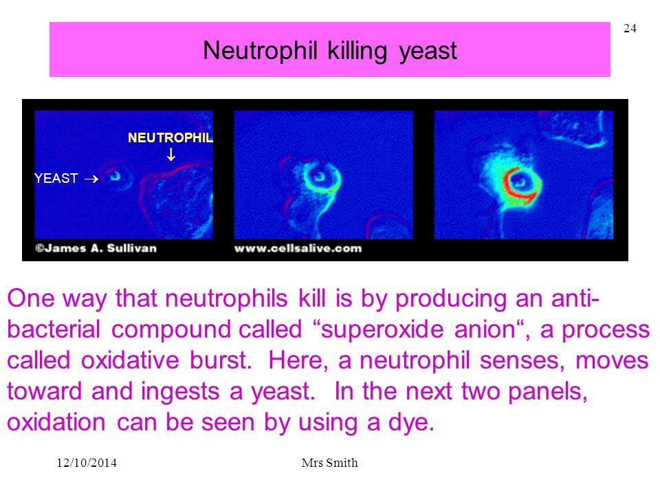 Neutrophil killing yeast