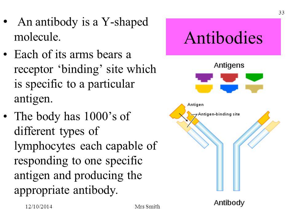 Antibodies An antibody is a Y-shaped molecule.