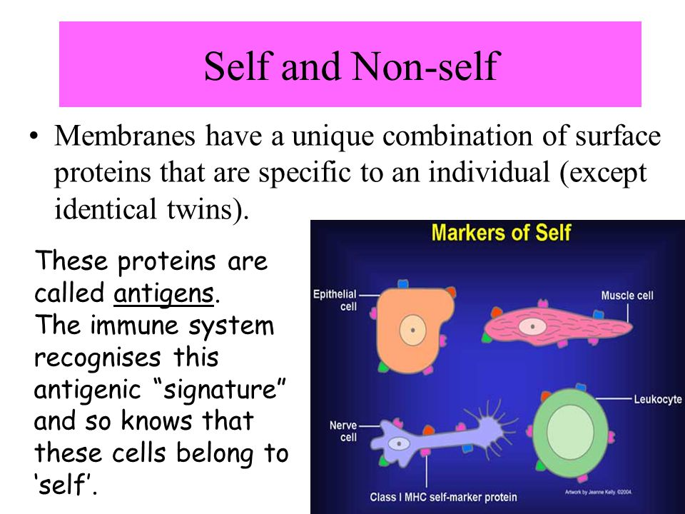 Self and Non-self Membranes have a unique combination of surface proteins that are specific to an individual (except identical twins).