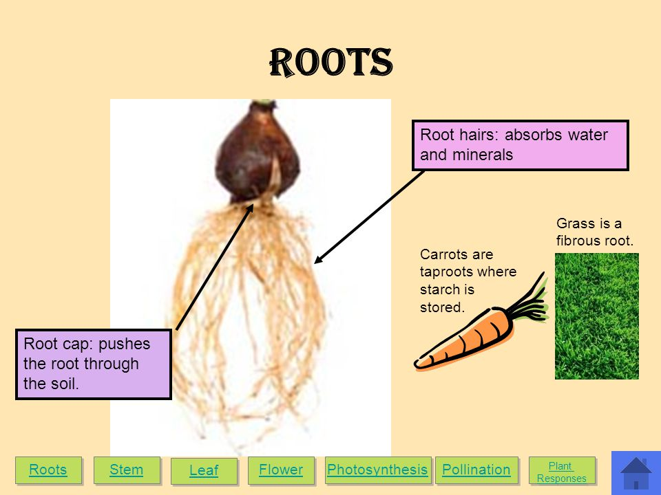 ROOTS Root hairs: absorbs water and minerals