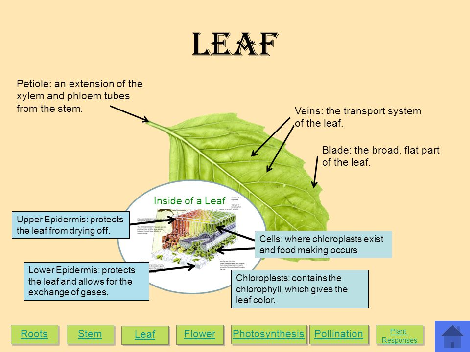Leaf Petiole: an extension of the xylem and phloem tubes from the stem. Veins: the transport system of the leaf.