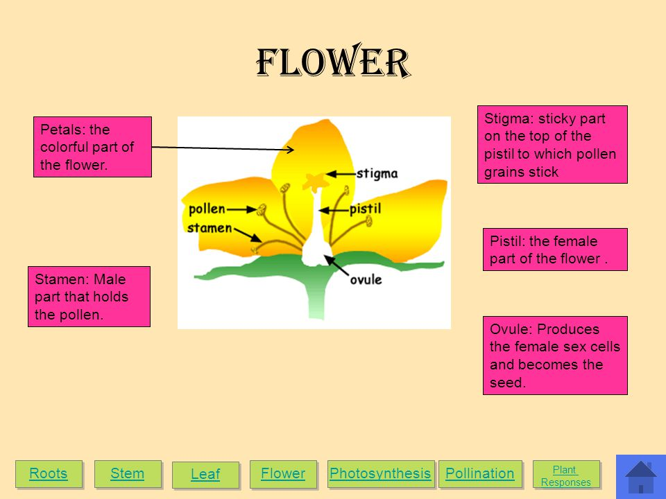 Flower Stigma: sticky part on the top of the pistil to which pollen grains stick. Petals: the colorful part of the flower.