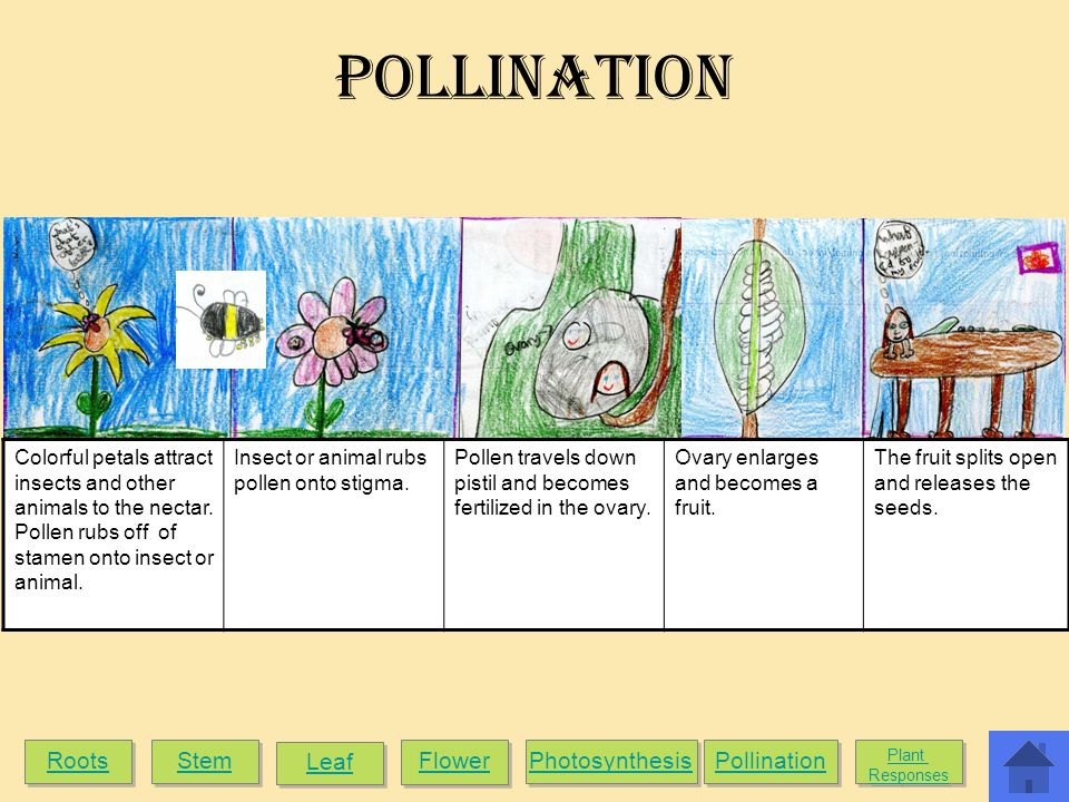 Pollination Roots Stem Leaf Flower Photosynthesis Pollination