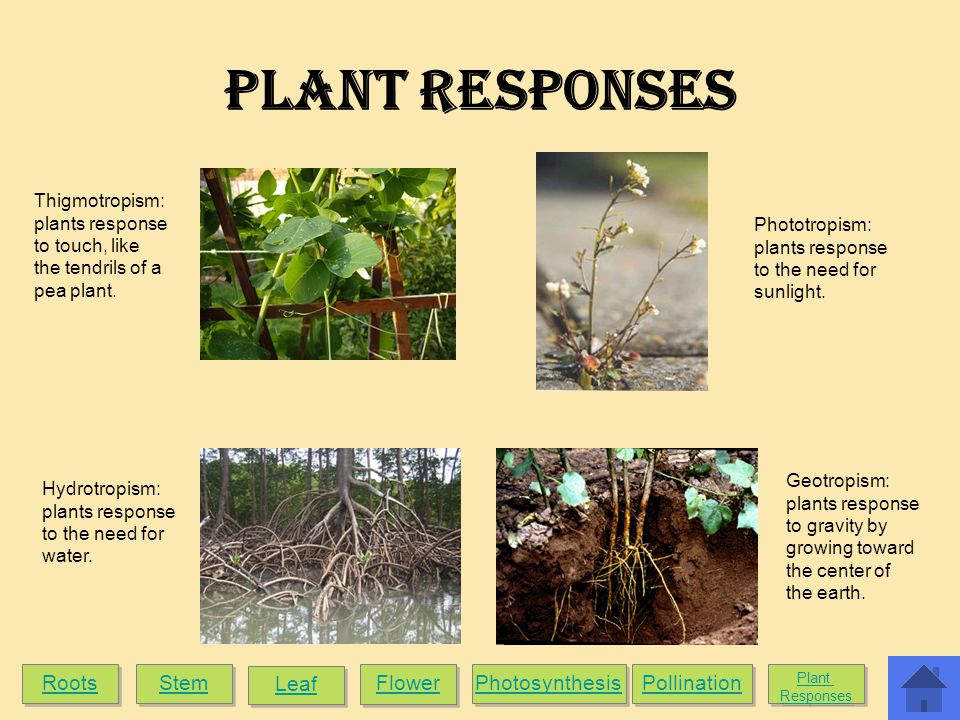 Plant Responses Roots Stem Leaf Flower Photosynthesis Pollination