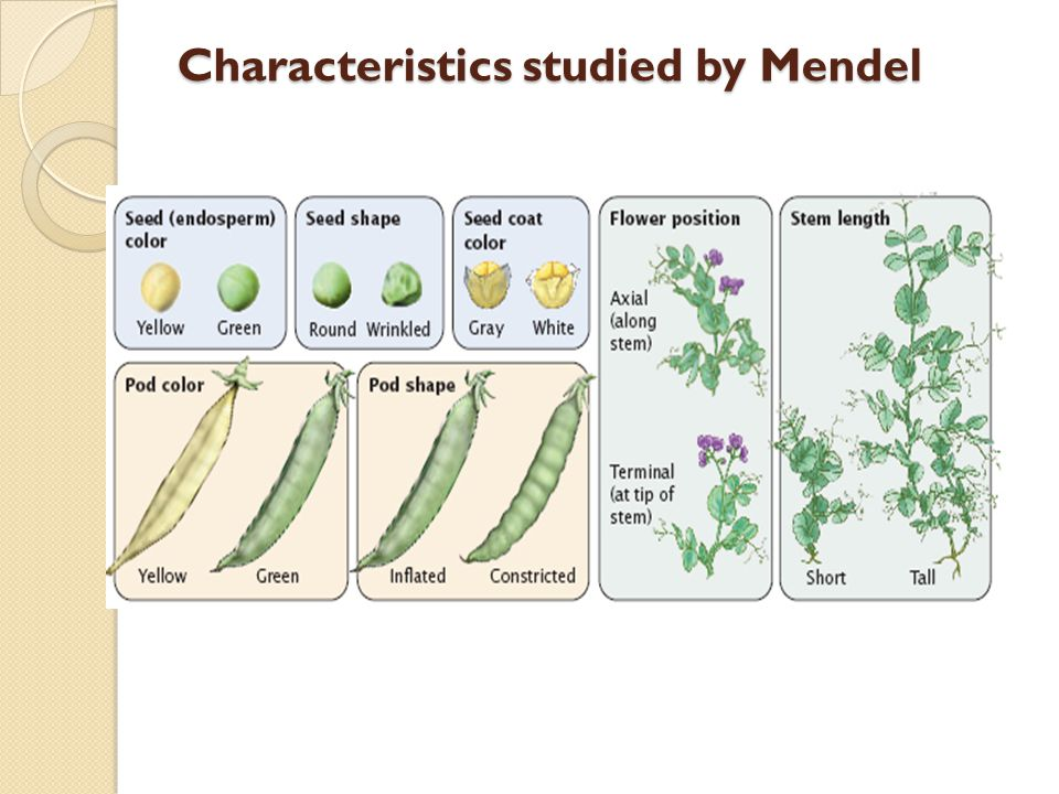 Characteristics studied by Mendel