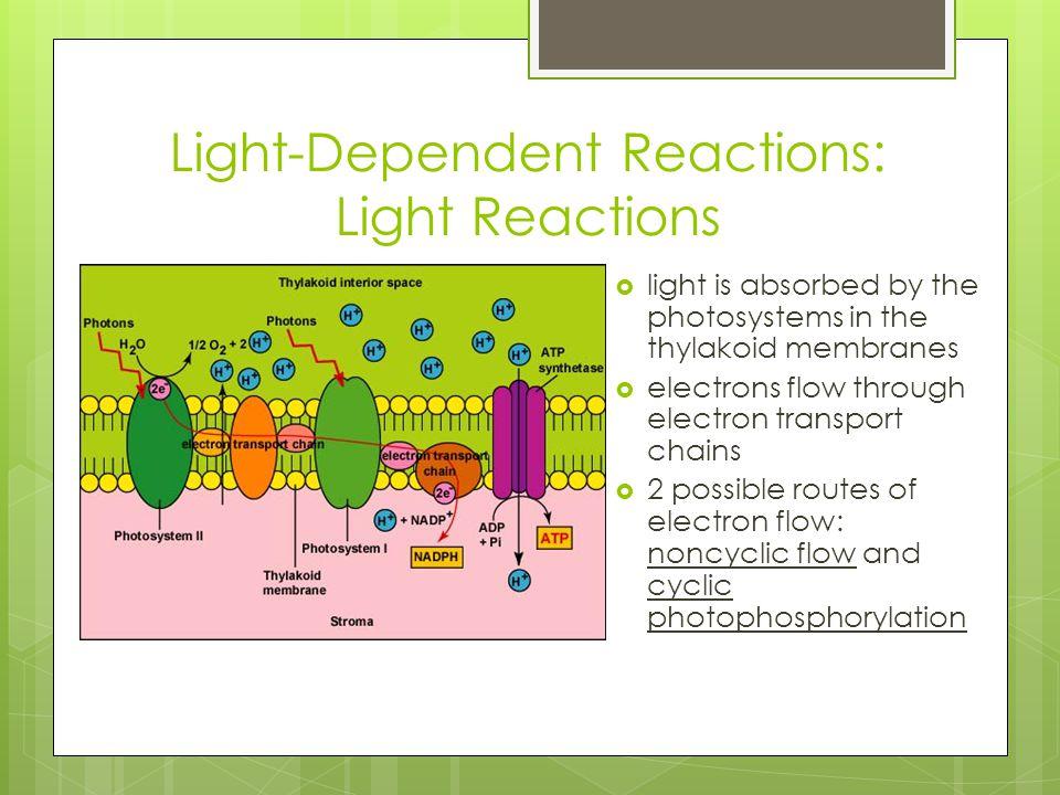 Light-Dependent Reactions: Light Reactions