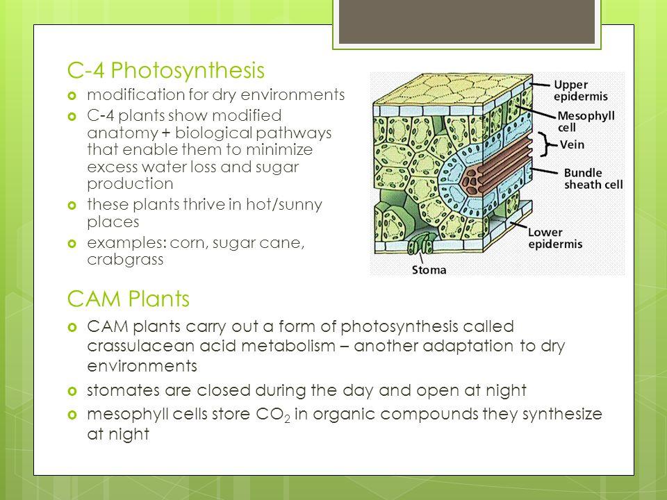 C-4 Photosynthesis CAM Plants
