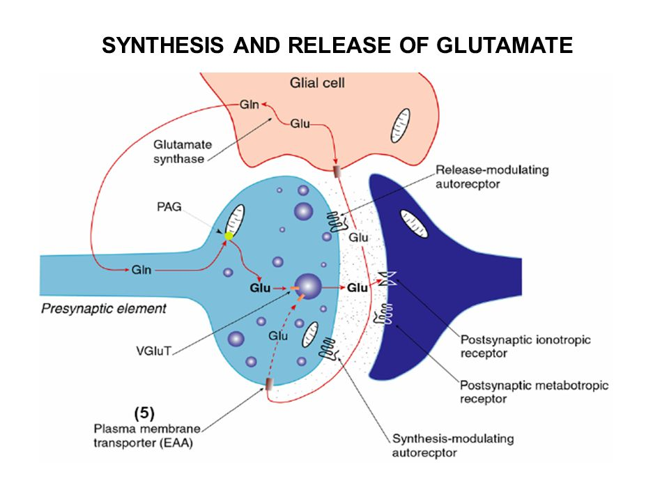 SYNTHESIS AND RELEASE OF GLUTAMATE