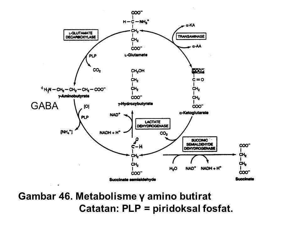 GABA Gambar 46. Metabolisme γ amino butirat Catatan: PLP = piridoksal fosfat.