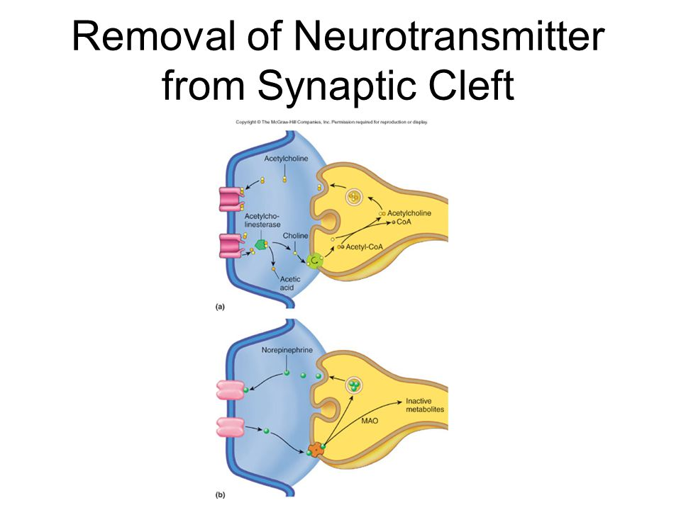 Removal of Neurotransmitter from Synaptic Cleft