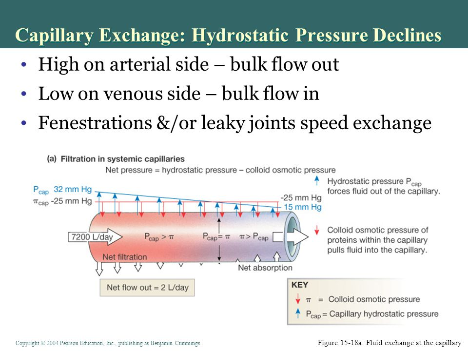 Capillary Exchange: Hydrostatic Pressure Declines
