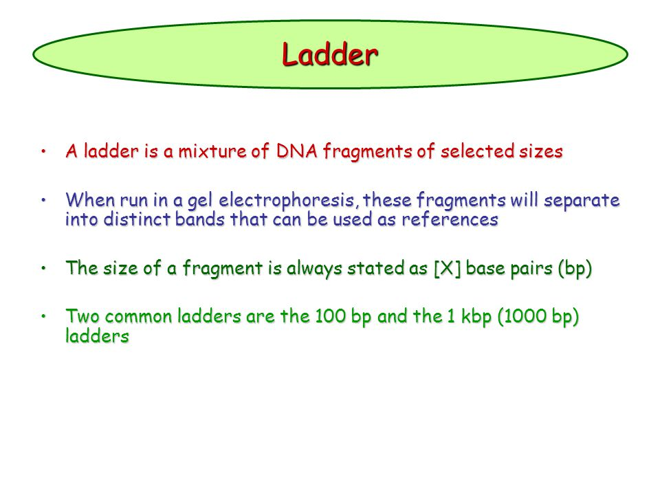 Ladder A ladder is a mixture of DNA fragments of selected sizes