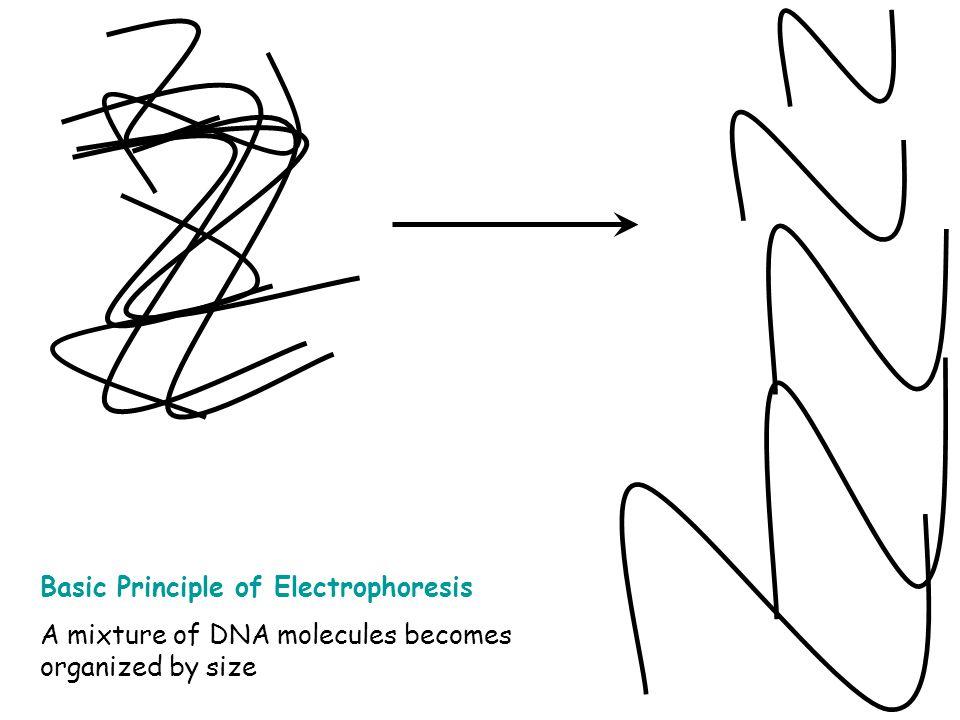 Basic Principle of Electrophoresis