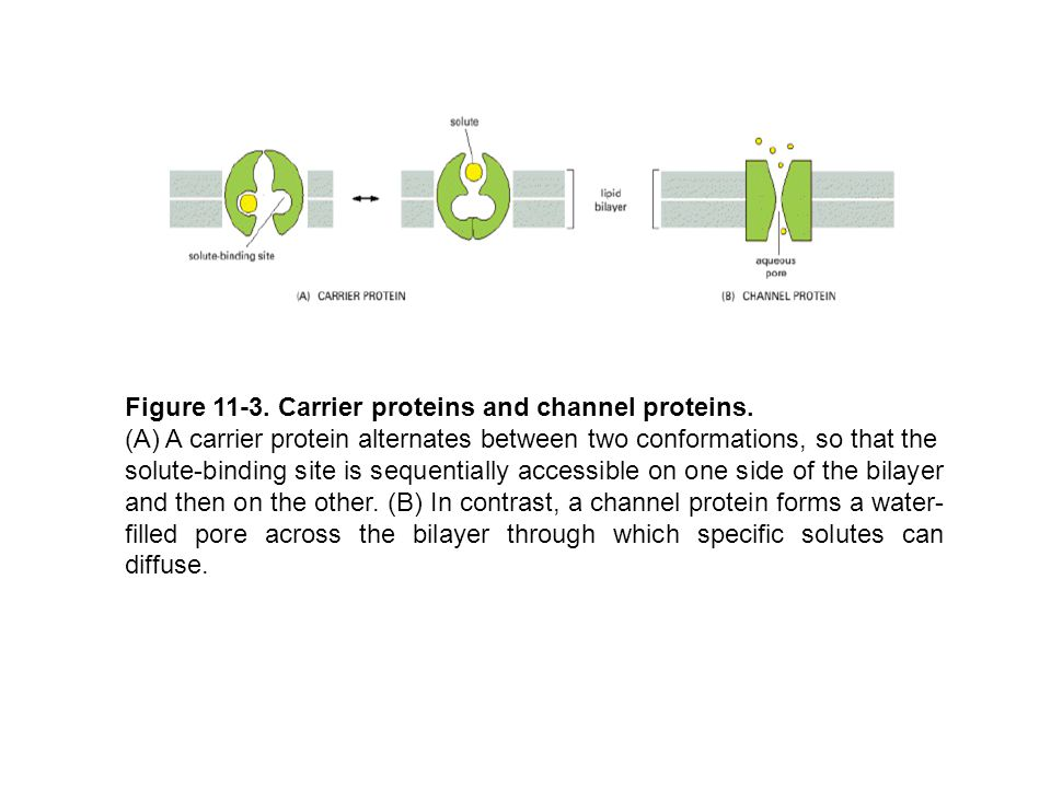 Figure 11-3. Carrier proteins and channel proteins.