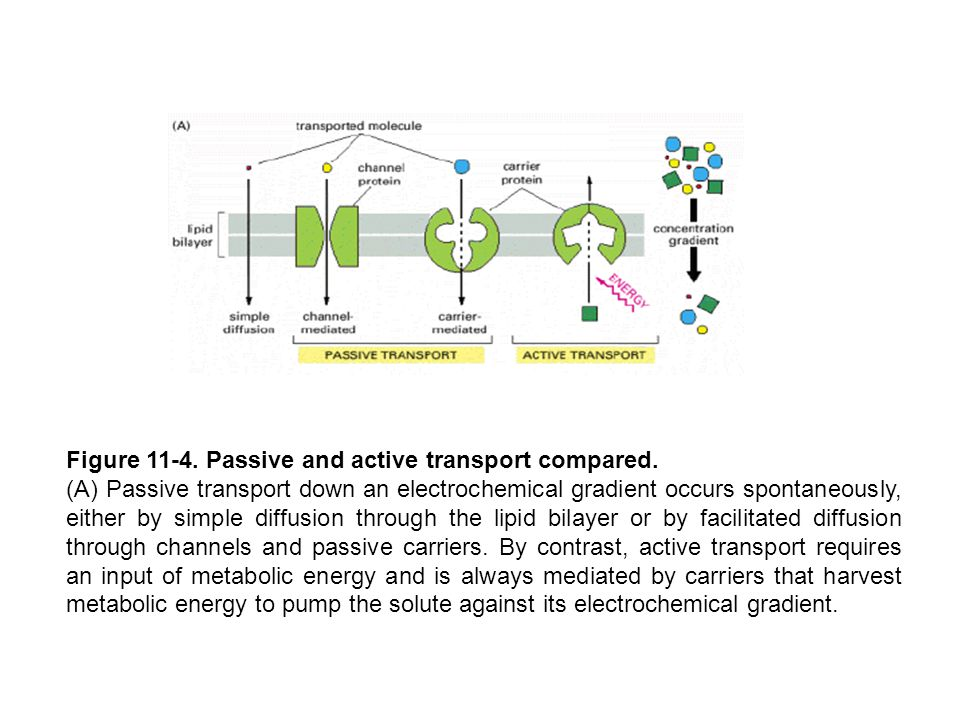Figure 11-4. Passive and active transport compared.