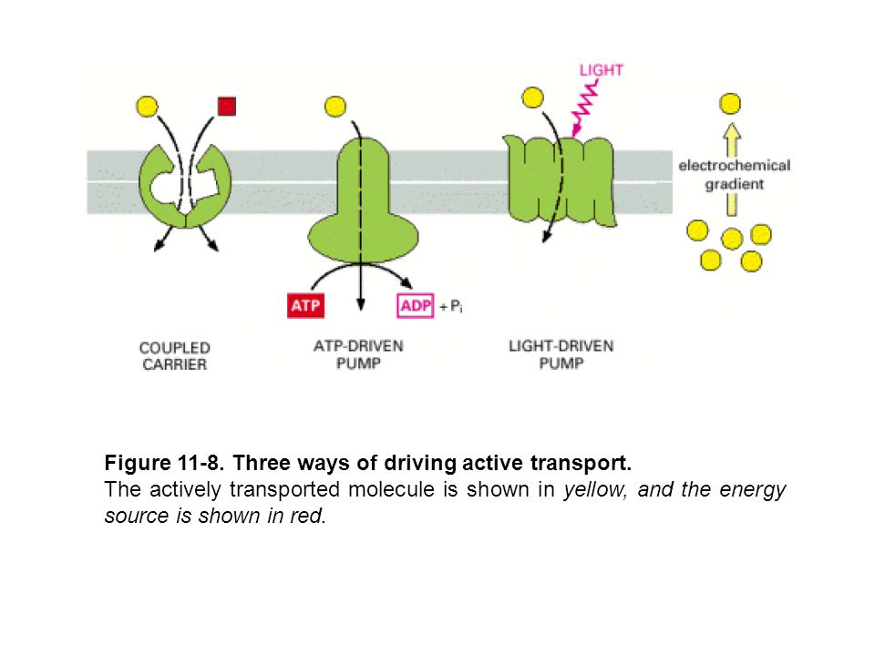 Figure 11-8. Three ways of driving active transport.
