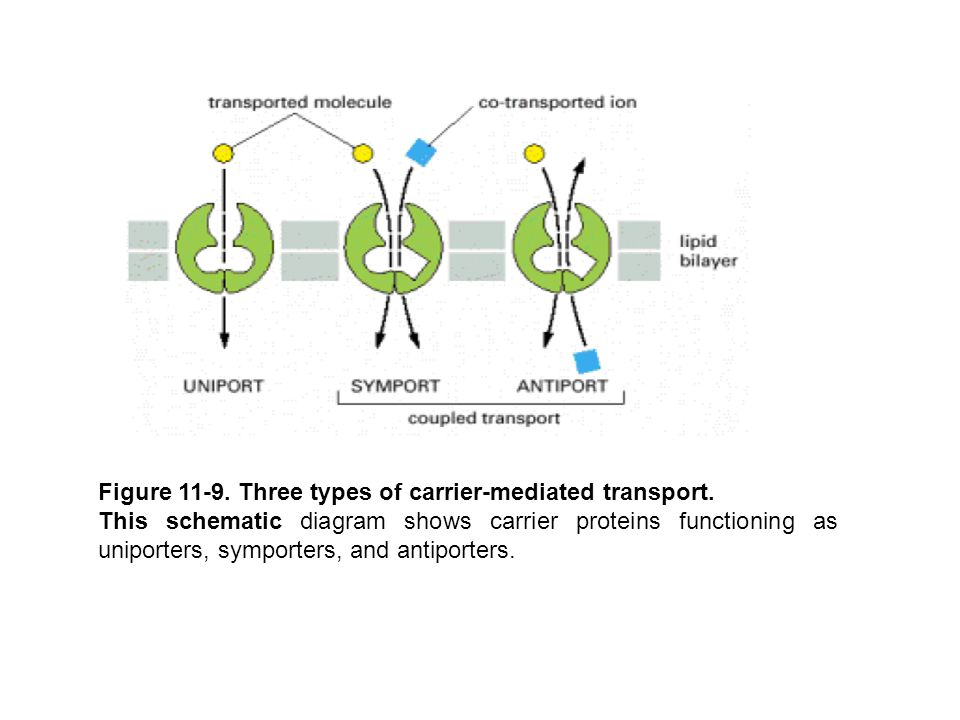 Figure 11-9. Three types of carrier-mediated transport.