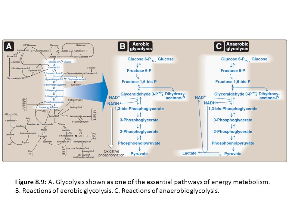 Figure 8.9: A. Glycolysis shown as one of the essential pathways of energy metabolism.