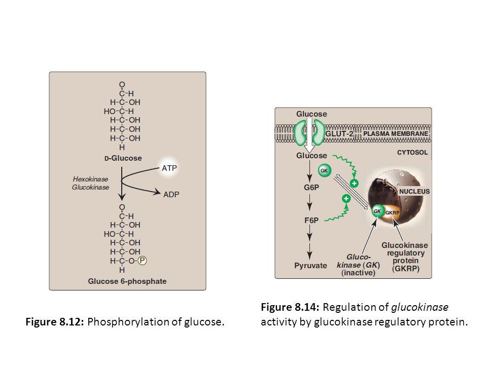 Figure 8.14: Regulation of glucokinase activity by glucokinase regulatory protein.
