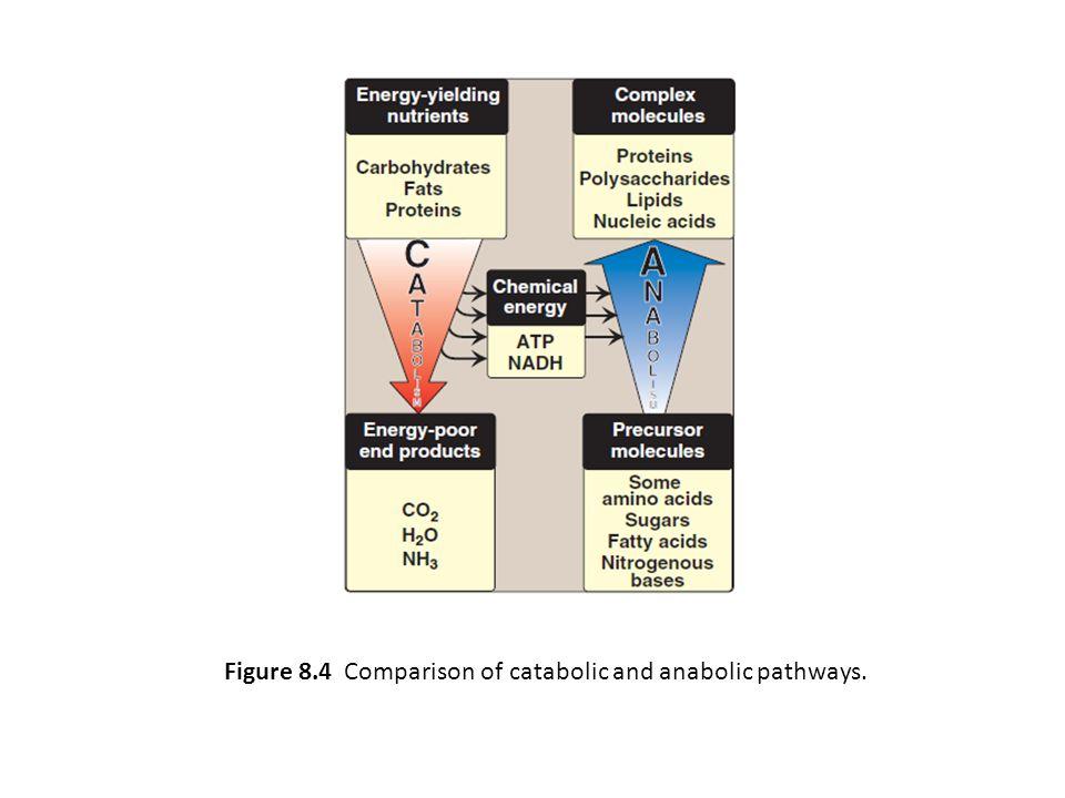 Figure 8.4 Comparison of catabolic and anabolic pathways.
